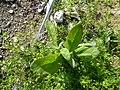Starr-150331-0687-Pluchea carolinensis-seedling-Near Old Sunrise Seep Sand Island-Midway Atoll (25244981126).jpg