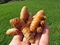 Starr-170114-6483-Curcuma longa-harvest-Hawea Pl Olinda-Maui (32466090635).jpg