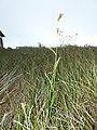 Starr-170727-0500-Rhynchospora caduca-Fimbristylis dichotoma-Makamakaole-Maui - Flickr - Starr Environmental.jpg