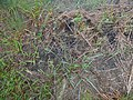 Starr-170727-0533-Paspalum scrobiculatum-seeding habit-Makamakaole-Maui - Flickr - Starr Environmental.jpg