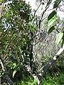 Starr-180927-5574-Vanilla planifolia-flowering habit-Hawea Pl Olinda-Maui (44903034975).jpg
