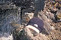 Starr-990224-3625-Asplenium adiantum nigrum-habitat and icicle in cave-HNP-Maui (24157878609).jpg