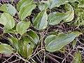 Starr 030405-0241 Smilax melastomifolia.jpg