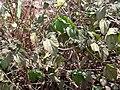 Starr 030530-0013 Hibiscus ovalifolius.jpg
