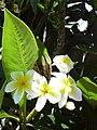 Starr 030702-0059 Plumeria rubra.jpg