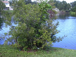 Myrica cerifera - Myrica cerifera near a body of water