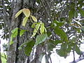 Starr 040327-0026 Alectryon macrococcus var. auwahiensis.jpg