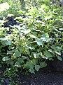 Starr 040410-0034 Xanthium strumarium var. canadense.jpg
