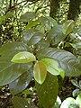 Starr 040713-0100 Antidesma platyphyllum.jpg