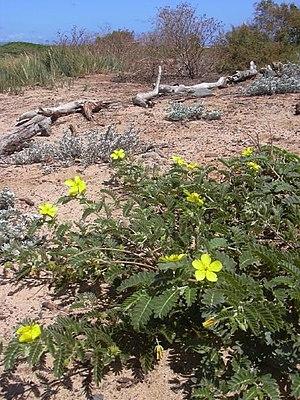 Tribulus - Tribulus cistoides in flower