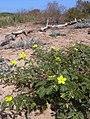 Starr 040801 0004 tribulus cistoides.jpg