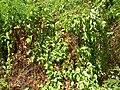 Starr 050517-1449 Antigonon leptopus.jpg