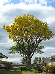 Starr 050518-1609 Tabebuia donnell-smithii