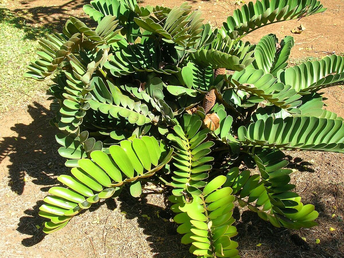 Zamia wikipedia for Planta ornamental zamia