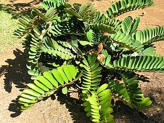 <i>Zamia</i> genus of cycads in the family Zamiaceae