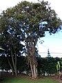 Starr 061231-3028 Persea americana.jpg