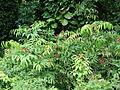 Starr 070515-7071 Leea philippinensis.jpg