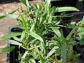 Starr 080117-2172 Artemisia dracunculus.jpg
