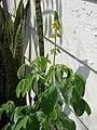 Starr 080531-5028 Crotalaria incana.jpg