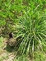 Starr 080603-9156 Eragrostis variabilis.jpg