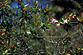Starr 980528-4082 Abelia x grandiflora.jpg