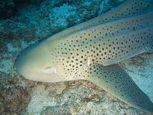 Zebra shark - Close-up of zebra shark