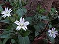 Stellaria pubera - Star Chickweed.jpg