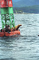 Steller Sea Lion04(js).jpg