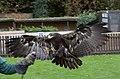 Steppe Eagle 1 (5087143024).jpg