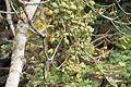 Sterculia tragacantha Bioko 2013 2.jpg