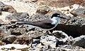 Sterna anaethetus (bridled tern) (Green Cay, offshore San Salvador Island, Bahamas) 1 (15576075601).jpg