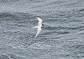Sterna hirundinacea South Atlantic 1.jpg