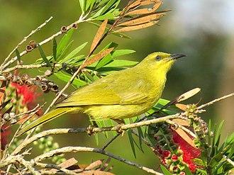 Yellow honeyeater - Image: Stomiopera flavus 0521