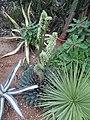 Strange Agave flower (6198590415).jpg
