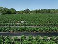 Strawberry field.JPG