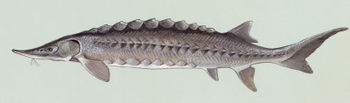 This Atlantic sturgeon is a chondrostean