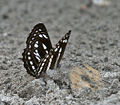 Sullied Sailor (Neptis soma) at Jayanti, Duars, WB W IMG 5423.jpg