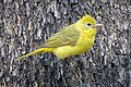 Summer Tanager (female) (18376793388).jpg