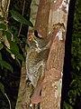 Sunda Flying Lemur (Galeopterus variegatus) (15069674593).jpg