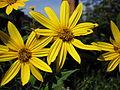 Sunroot flowers.jpg