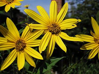 Jerusalem artichoke - Jerusalem artichoke flowers