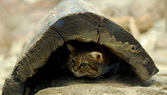 Black-footed cat under cover Suspicious Black-Footed Cat.jpg