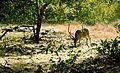 Swamp Deer.jpg