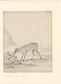 Sylvicapra grimmia - 1710-1792 - Print - Iconographia Zoologica - Special Collections University of Amsterdam - UBA01 IZA1000714.tif