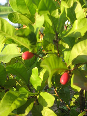 English: Synsepalum dulcificum (miracle berry)