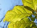 Syringa villosa (7).jpg