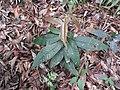 Syzygium bourdillonii-1-chemungi-kerala-India.jpg