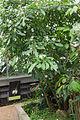 Tabernaemontana corymbosa - 74.jpg