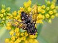 Tachinid Fly (8078547722).jpg