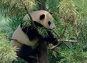 Giant Panda (Ailuropoda melanoleuca) at Smithsonian National Zoological Park.